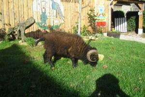 Mouton d'Ouessant Noirs