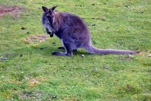 Wallaby 1